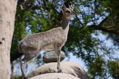 Steenbok Obraz Royalty Free