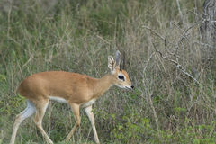 Steenbok. A graceful Steenbok in the South African Bush Stock Image