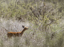 Steenbok Royalty Free Stock Image