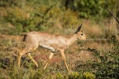 Steenbok Arkivfoton