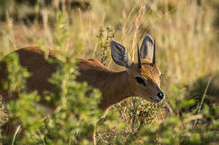 Steenbok Royaltyfria Bilder