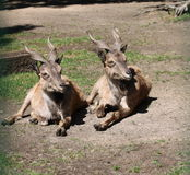 Steenbok stock afbeelding
