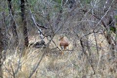 Steenbok Photographie stock libre de droits