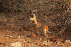 Steenbok Fotografia Stock