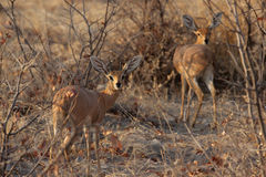 Steenbok Royalty-vrije Stock Afbeelding