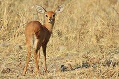 Steenbok - afrikansk djurlivbakgrund - likadan Bambi blick Arkivfoton