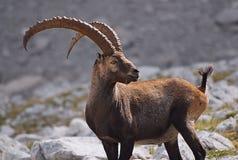 Steenbok in alarm, Dolomiet Stock Fotografie