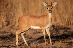 Steenbok antelope. Alert male steenbok antelope (Raphicerus campestris), South Africa Stock Images