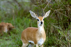 Steenbok Antelope. A graceful Steenbok in the South African Bush Royalty Free Stock Photos