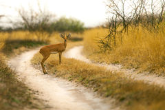Steenbok Antelope. Antelope on the way in reserve of Botswana Royalty Free Stock Photography
