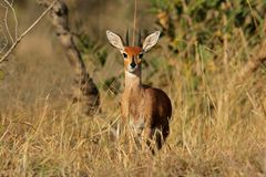 Steenbok antelope. Male steenbok antelope, (Raphicerus campestris), Kruger National Park, South Africa Royalty Free Stock Photography