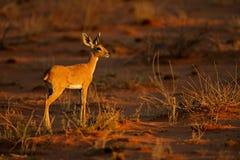 Steenbok antelope Stock Image