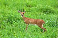 Steenbok Antelope in Africa. Male Steenbok Antelope in the Kruger National Park, South Africa Royalty Free Stock Image
