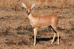 Steenbok antelope Royalty Free Stock Photo