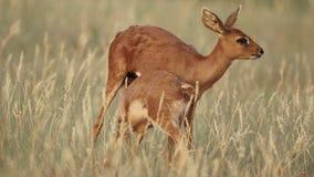 Steenbok antelope with lamb stock video