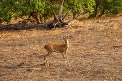 Steenbok Antelope. Looks to the camera in savanna of Botswana Stock Images