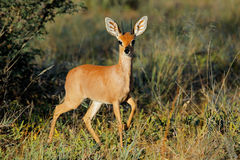 Steenbok antelope Stock Photography
