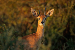 Steenbok antelope portrait. Portrait of a male steenbok antelope Raphicerus campestris, South Africa Stock Image