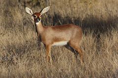 Steenbok Antelope - Savuti - Botswana Royalty Free Stock Images