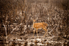 Steenbok Antelope Stock Photo