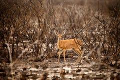 Steenbok Antelope. Is walking in reserve of Botswana Stock Photo
