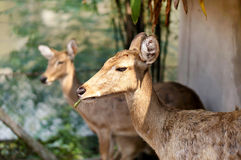 Steenbok antelope in the wild Royalty Free Stock Image