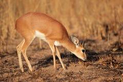 Steenbok antylopa Zdjęcie Royalty Free