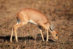 Steenbok antylopa Zdjęcia Stock