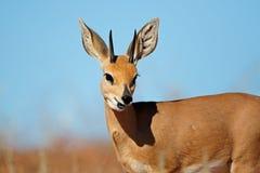 Steenbok antylopy portret Fotografia Stock