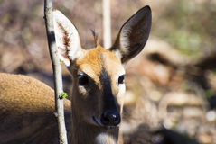 Steenbok and branch Royalty Free Stock Photo