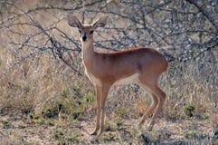 Steenbok (campestris de Raphicerus) Images stock