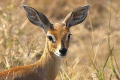 Steenbok (campestris de Raphicerus) Image stock