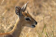 Steenbok (campestris de Raphicerus) Image libre de droits