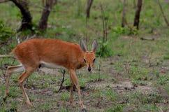 Steenbok (campestris del Raphicerus) Imagen de archivo