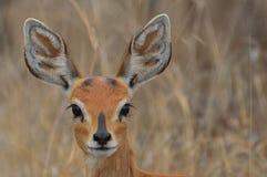 Steenbok {campestris del Raphicerus} Fotografía de archivo libre de regalías