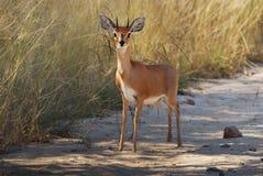 Steenbok (campestris del Raphicerus) Fotografía de archivo