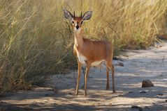 Steenbok (campestris do Raphicerus) Fotografia de Stock