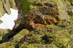 Steenbok, cheserys, argentiere, chamonix, haute Savoie, Frankrijk stock afbeeldingen