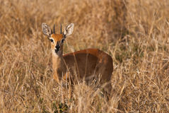 Steenbok. Cute wild Steenbok with mouth open Stock Photography