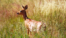Steenbok dans la longue herbe Images libres de droits