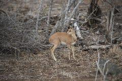 Steenbok, der über it& x27 schaut; s-Schulter Lizenzfreie Stockbilder