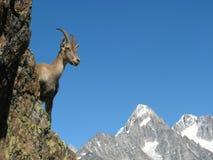 Steenbok dichtbij Chamonix, Frankrijk Royalty-vrije Stock Foto's