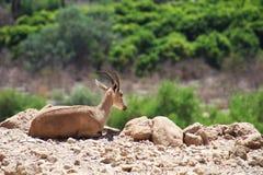 Steenbok die in Wadi David National Park, Israël rusten royalty-vrije stock afbeeldingen