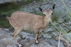 Steenbok die zich door de waterstroom bevinden Stock Afbeelding