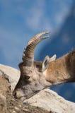 Steenbok die zout op rotsen eet Stock Foto's