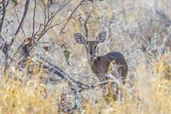 Steenbok in the Etosha National Park, Namibia Royalty Free Stock Photos