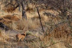 Steenbok, Etosha National Park, Namibia Royalty Free Stock Photo