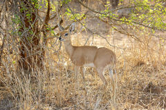 Steenbok Royalty Free Stock Photos