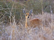 Steenbok femminile immagine stock libera da diritti