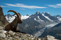 Steenbok, Franse alpen royalty-vrije stock afbeelding